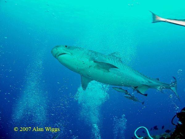 Requin-tigre