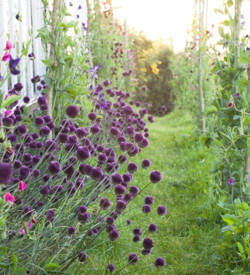 Common Purple Garden Flowers 13 best garden images on pinterest