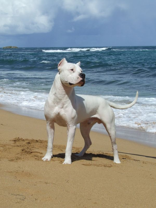 Kane is 25% Dogo Argentino Dogo Valley-Dogo Argentino breeder-Éleveur dogue argentin- Quebec-Canada - Our Photos