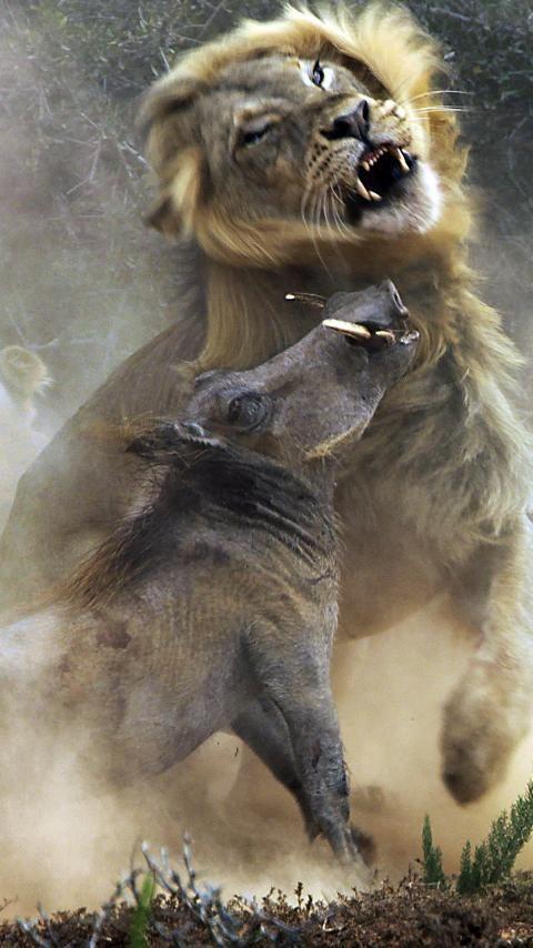 Enorme leeuw grijpt everzwijn