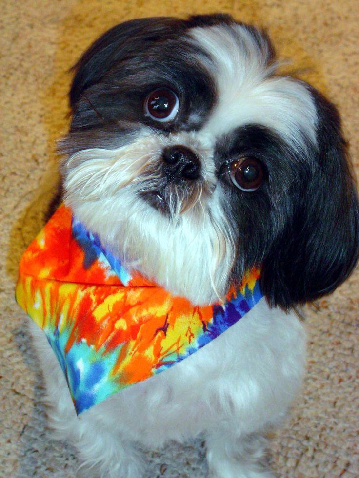 Shih Tzu Shih Tzu Love Shih Tzu Dogs Puppies