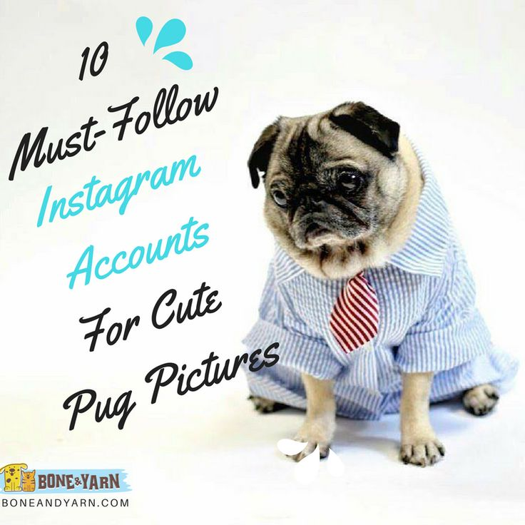 Pugs may be one of the cutest dog breeds out there. Follow these famous pugs on Instagram for seriously cute pug pictures.