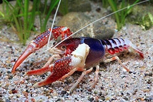 supernova crayfish - Google Search