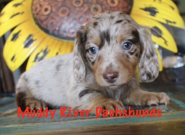 Chocolate Dapples At Muddy River Dachshunds Dachshund Puppy