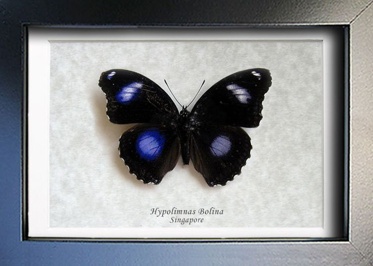 Blue Moon Great Eggfly Real Butterfly Museum Quality Framed In Shadowbox by ButterfliesArtist on Etsy