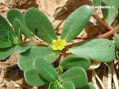 El cultivo de la verdolaga (Portulaca oleracea)