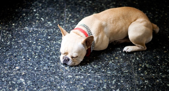 French Bulldogs! Taking over!: French A Bull, Animals, French Bulldogs, Posts, Rose Of Sharon
