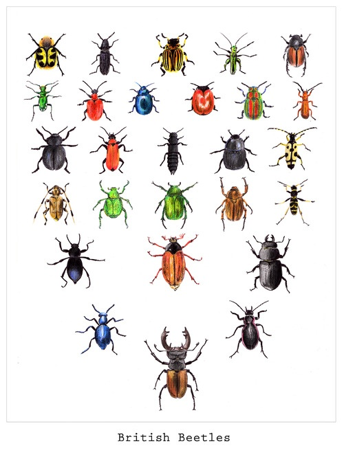 thelotustile:  My British Beetles Illustration Buy it direct from me or visit my etsy shop! http://www.etsy.com/uk/listing/153821376/british-beetles?ref=shop_home_active