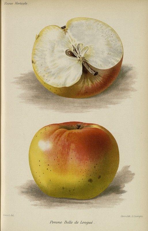 SNHF | Pomme Belle de Longué