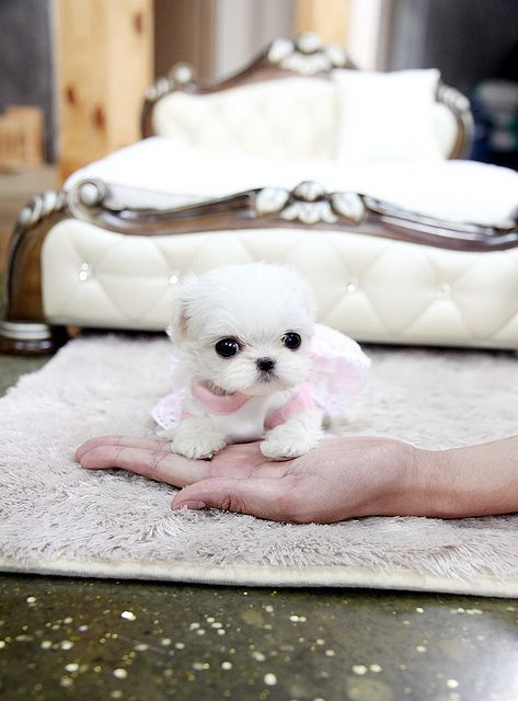 Teacup Maltese Puppies | Teeny tiny teacup maltese puppy | Flickr - Photo Sharing!  I want one!!!