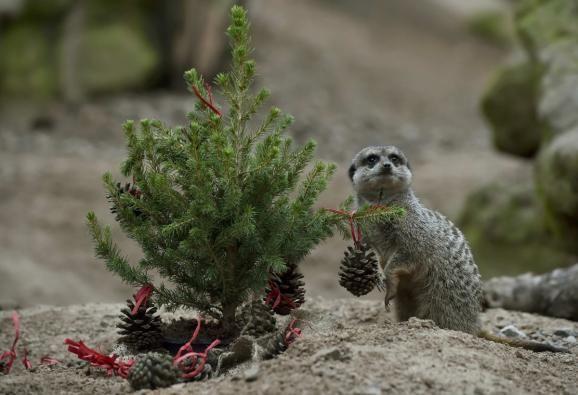 Фото: Забавные животные зоопарка, которым устроили Рождество с подарками
