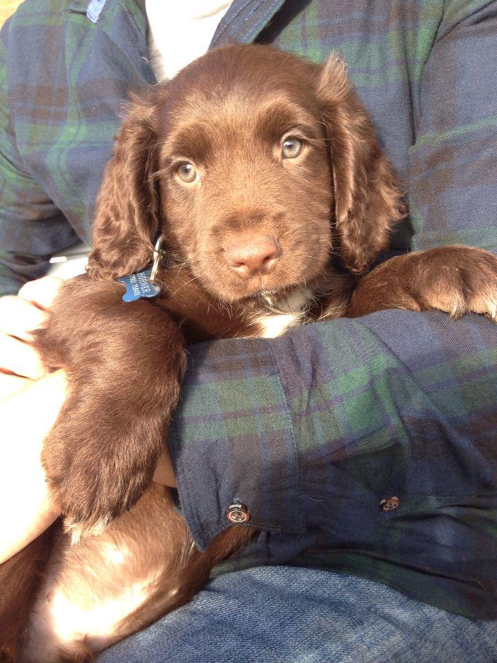 Chocolate Sprocker Spaniel Puppy