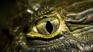 Image copyright                  Getty                  Image caption                     Los cocodrilos pueden acechar a sus presas sin mover la cabeza gracias a la particularidad de sus ojos.   Los cocodrilos son pacientes y por su fría mirada, aunque estén inmóviles, parece que siempre están al acecho. Una nueva investigación sobre los ojos de estos animales feroces así lo confirma. El estudio elaborado por científicos australianos reveló cómo l