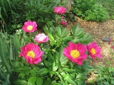 Peony Problems: Tips For Recovering Peony Plants Once Damaged - In any gardener's flower bed, plants can be subject to damage. When it happens to a peony plant, the damage is even more frustrating because of the picky nature of peonies. Learn more about that here.