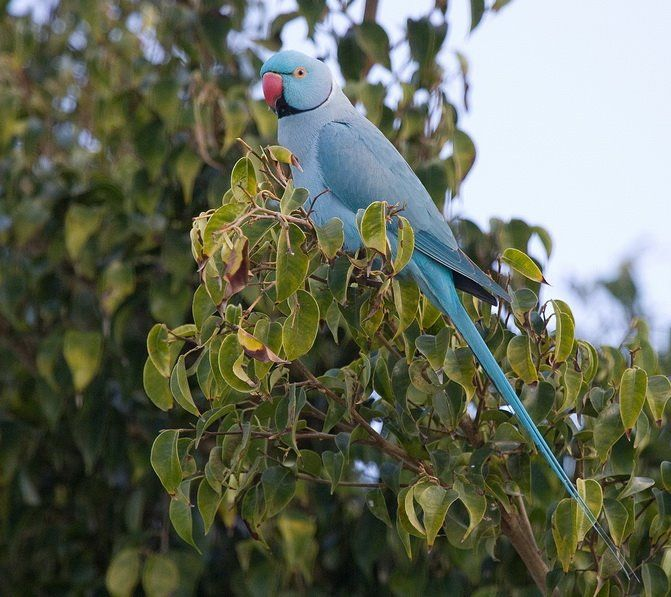 Cotorra de Kramer. Eng.: Rose-ringed Parakeet.Ger.: Halsbandsittich (Psittacula krameri Fam.: Psittacidae) Playa Honda. Abril. 2009.