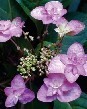 The flowers on 'Purple Tiers' are small but intense | Fine Gardening Magazine