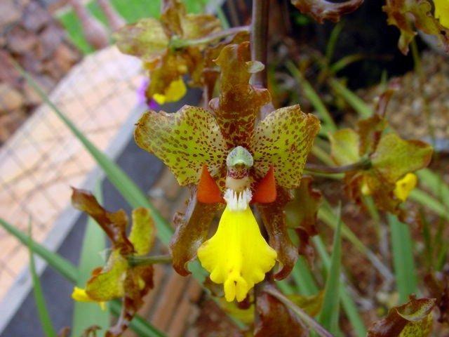 Cyrtopodium blanchetii