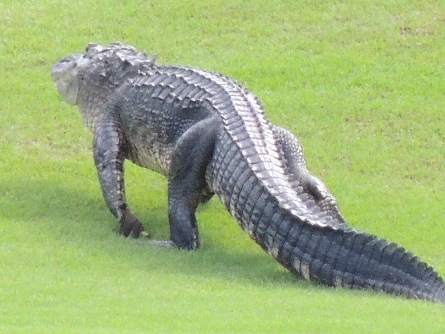 Alligator walking