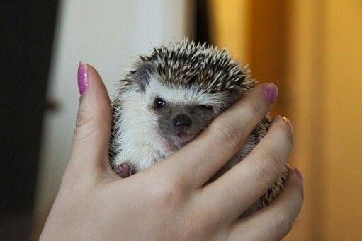 Ilona hedgehog exoticpet Instagram: @ellaelba