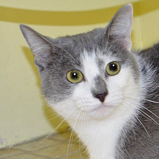 Twink is a 2 1/2 year old, 10lb female domestic short haired cat. She is a talkative lady who likes the simpler things in life...a lap and some catnip will do her just fine. Twink can be seen at Pet Food Warehouse, 6155 18th St. N., St. Petersburg, (727) 521-6191.