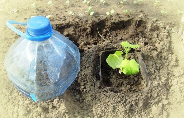 Тара с растением, закопанная в землю