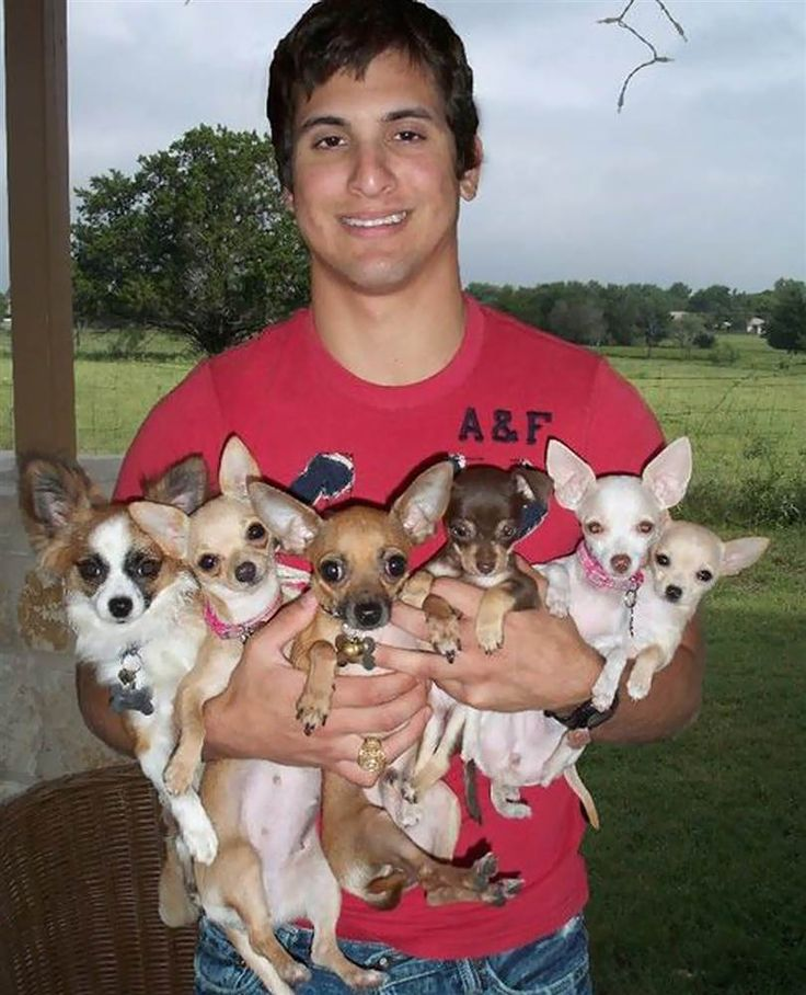 Fistful of chihuahuas