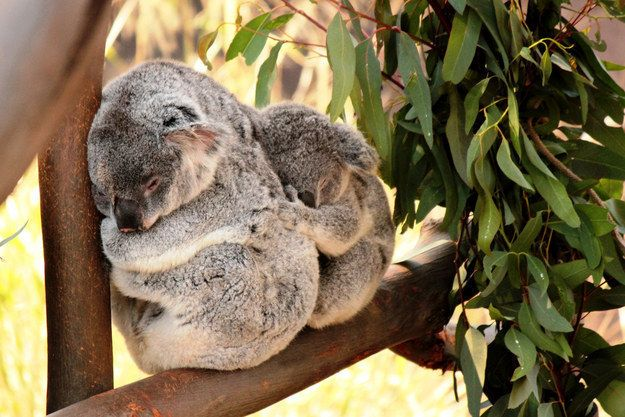 Once a baby joey becomes too big for the pouch, a koala mom will carry her baby on her back.
