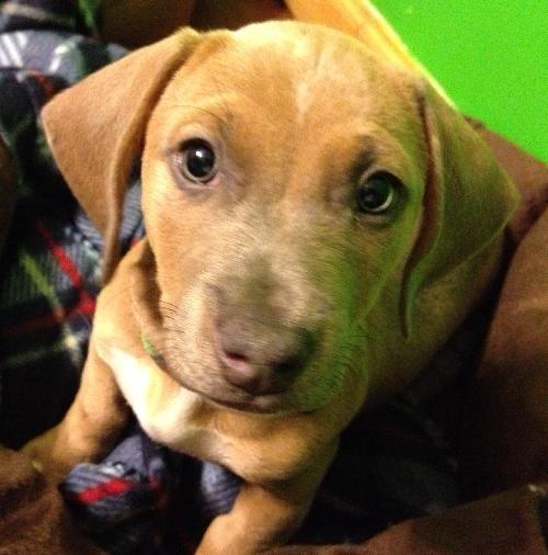 Spot. A cute little dachshund bulldog mix pup available ...