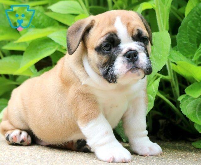 Carmel Bulldog Puppies English Bulldog Puppies Puppies For Sale