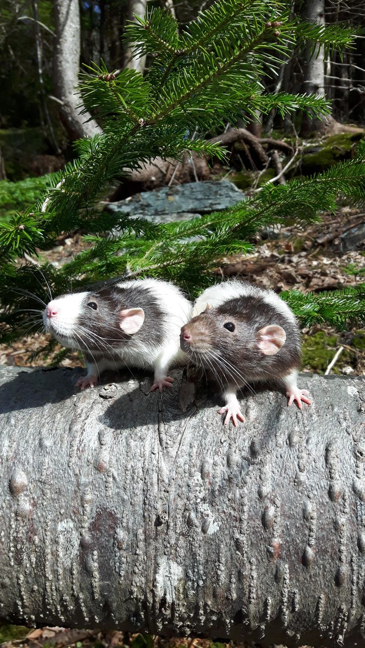 Cuddle chair related keywords amp suggestions cuddle chair long tail - Pringle Touton Posing Nicely Aww Cute Rat Cuterats Ratsofpinterest