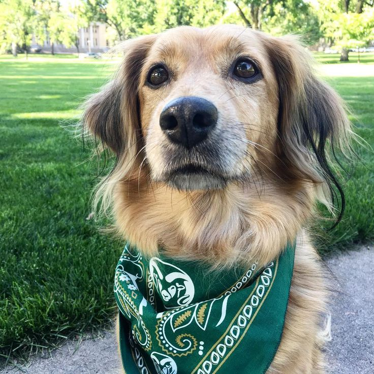 You need this CSU bandanna for your dog.