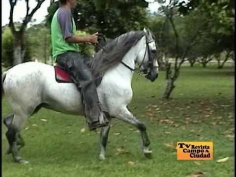Caballos Paso Fino Colombiano - Programa Campo y Ciudad - YouTube