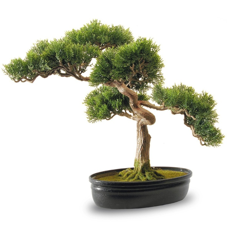 17 best images about bonsai cedar on pinterest bonsai. Black Bedroom Furniture Sets. Home Design Ideas