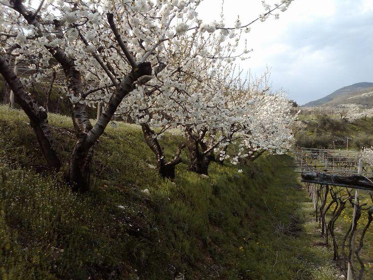 Esplode la primavera con la fioritura dei ciliegi