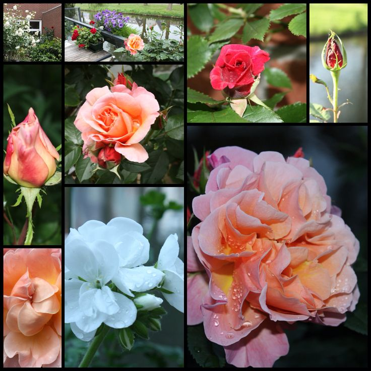 Les roses de Maman