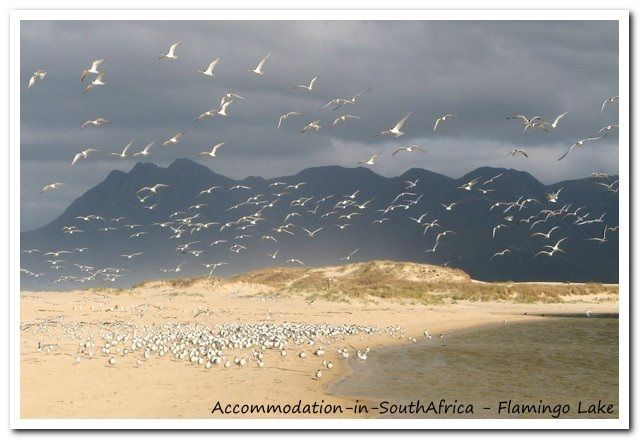 Flamingo's and Flamingo Lake. http://www.accommodation-in-southafrica.co.za/WesternCape/Hermanus/FlamingoLakeSelfCateringCottages.aspx