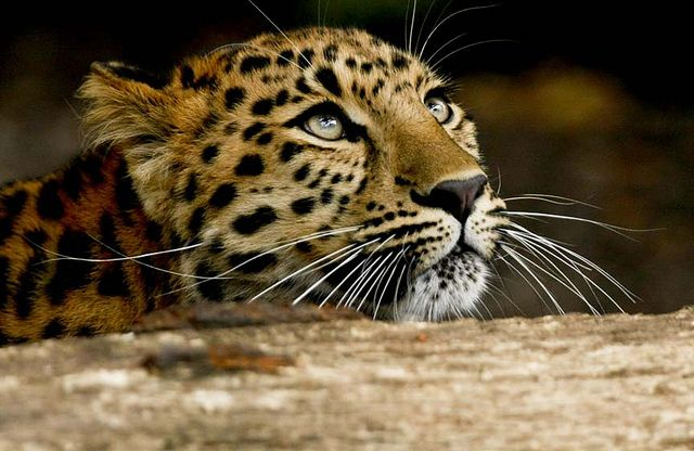 Female Amur leopard (by mike seamons)