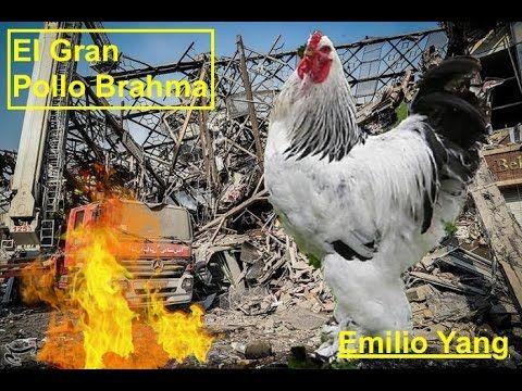 El Aterrador Pollo Gigante Brahma (Big Chicken)