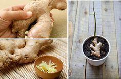 Como cultivar gengibre em casa?