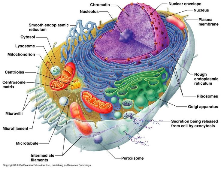 battery cell diagram organelle with its function - bing images | biology ...