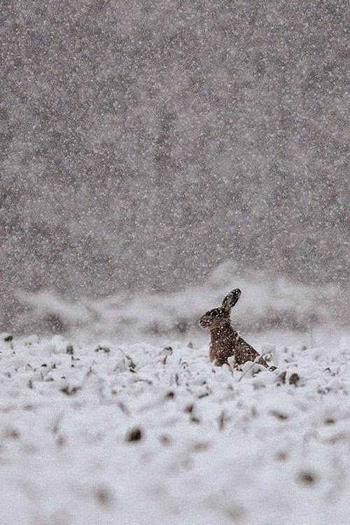 Rabbit in snow storm