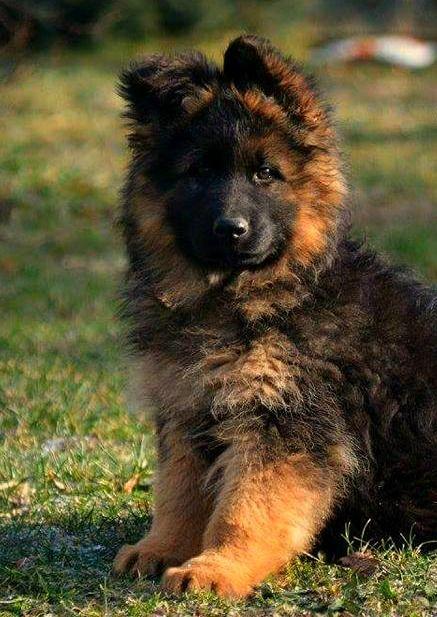 Long Haired West German Showline, German Shepherd Puppy - Zuflucht K9s https://www.facebook.com/ZufluchtK9s/