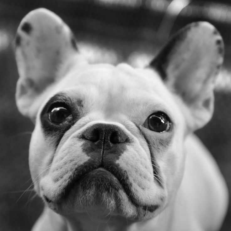 86 Best French Bulldog Images On Pinterest