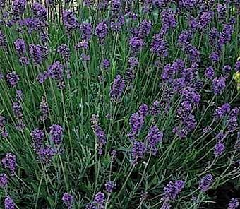 25 geweldige idee n over lavandula angustifolia op pinterest lavendeltuin. Black Bedroom Furniture Sets. Home Design Ideas