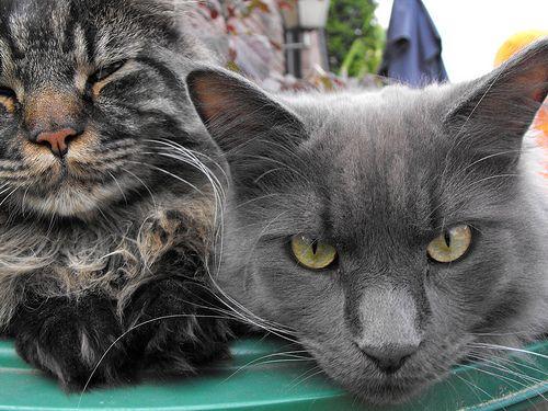 Menkun Katzen