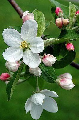 Spring...apple blossoms