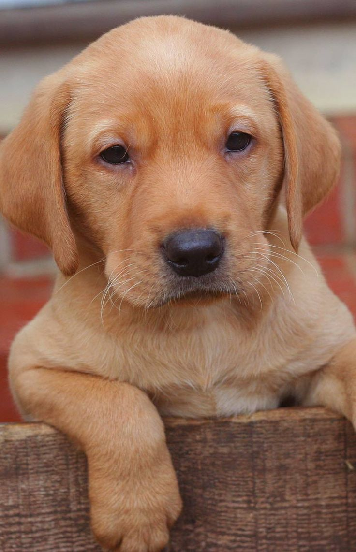 Labrador retriever breed development