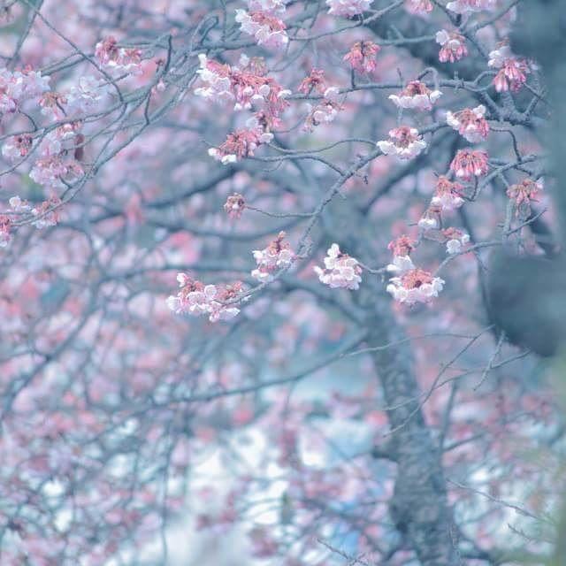 【nagasekyouko】さんのInstagramをピンしています。 《*熱海桜**  #_lovely_weekend #airy_pics #bella_pastels #bns_flowers #bokeh_addicts #bokeh_and_blur #flipping_flowers #fs_light #infinity_bokeh #LOVES_UNITED_FLORA #my_daily_flower #myheartinshots #natura_friends #ptk_flowers #rainbow_petals #splendid_flowers #splendid_lite #super_romanticas #superb_flowers #team_jp_flower #tv_flowers #whim_fluffy #wp_flower #ゆるかわ写真 #エアリーフォト #ふんわり写真部 #ボケの極み乙女_部 #はなまっぷ #桜》