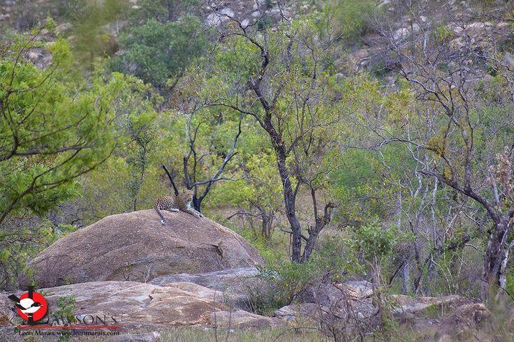 Leopard near Berg-en-Dal, #safari #wildlife #photography