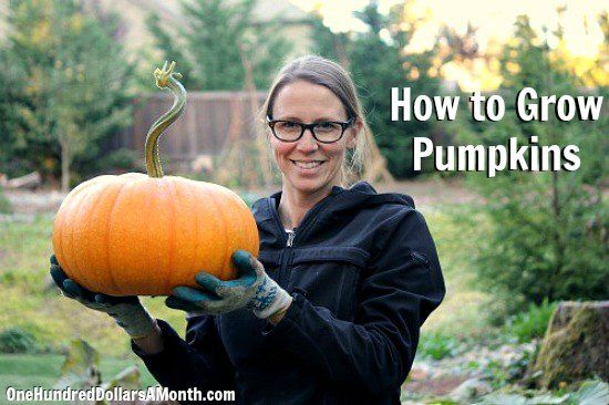 How to Grow Pumpkins {Start to Finish} @Deanne Jacob weren't you talking about growing pumpkins?  At 90-100 days, it looks like you may have missed the window this year, but maybe you can still get lucky with a later winter...?